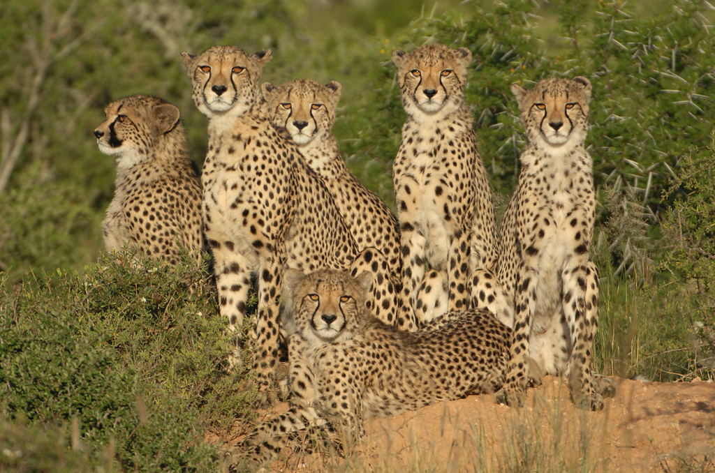 Animals Helping Animals: The Cheetah Outreach Story